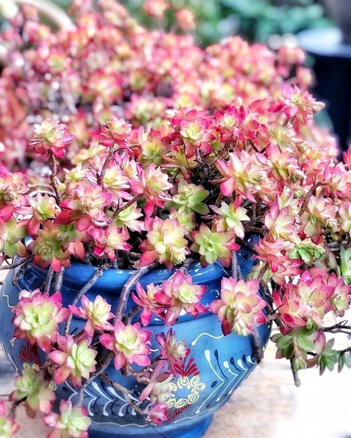 Superbe pot bleu de Sédum palmeri ou sedum compressum. Les feuilles deviennent rouge rosé en hiver en fonction de la luminosité. Photo @leaf_your_life sur Instagram.