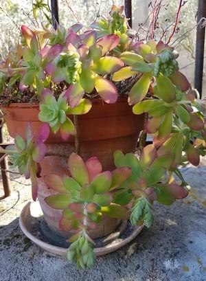 Cultiver des Sedum palmeri en pot à l'extérieur toute l'année: rien de plus simple, c'est une plante résistante et très facile. Elle ne nécessite aucun entretien. Découvrez le Sédum de Palmer sur le blog.
