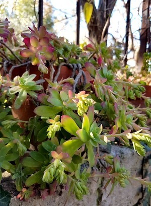Le Sedum palmeri est une plante grasse idéale pour recouvrir des murets. Ici elle est cultivée en pot mais une petite poche de terre dans un mur en pierre lui suffit.