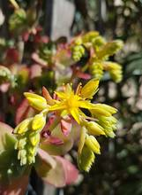Découvrez la culture facile du Sedum palmeri (Sédum de Palmer), une plante grasse rustique dont les fleurs jaunes s'épanouissent en hiver. Il pousse facilement à l'intérieur et au jardin. Bonne lecture sur le blog!