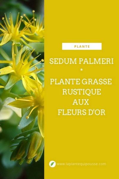 Découvrez la culture facile du Sedum palmeri, une plante grasse rustique dont les fleurs jaunes s'épanouissent en hiver. Il pousse facilement à l'intérieur et au jardin. Bonne lecture sur le blog!