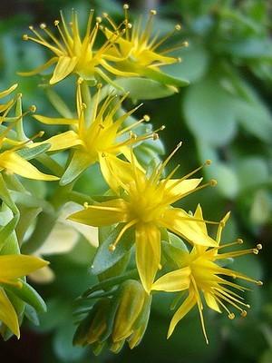 Magnifiques petites fleurs jaunes du Sedum palmeri. C'est une plante grasse très résistante et facile à cultiver, dont les fleurs mellifères apparaissent dès février. Lisez l'article pour en savoir plus :)