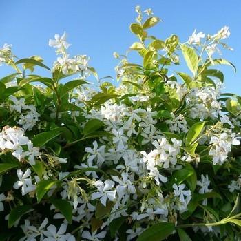 Jasmin étoile (Trachelospermum jasminoides): offrir une plante vivante et durable est un superbe symbole pour la Saint Valentin!