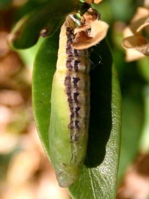 Chrysalide de la pyrale du buis (Cydalima perpectalis). Lisez l'article sur le blog: identifier et lutter contre ce fléau des buis.