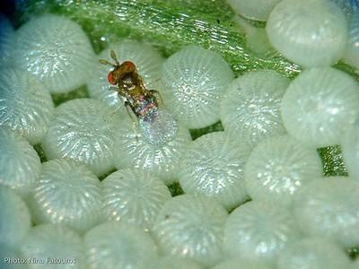 Contre les oeufs de pyrales du buis: les trichogrammes des micro-guêpes parasites. Découvrez sur le blog tous les moyens de lutte contre la pyrale du buis (Cydalima perspectalis).