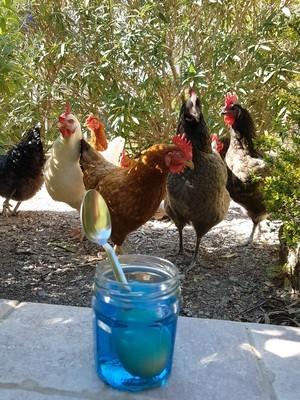 DIY: Teindre des oeufs de Pâques avec des colorants alimentaires. Les poules n'en reviennent pas! Rdv sur le blog pour une déco de Pâques sympa.