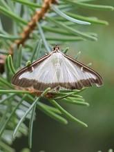 Les pièges à phéromones contre les papillons de pyrale du buis (Cydalima perspectalis). Lisez l'article sur le blog: tous les moyens de combattre la chenille et le papillon de la pyrale du buis.