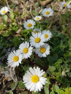 DIY: les pâquerettes sont des fleurs idéales et faciles à trouver pour une déco de Pâque fleurie!
