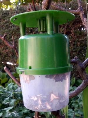 Piège à phéromone contre le papillon de la pyrale du buis (Cydalima perspectalis). Tous les moyens de lutte: lisez l'article sur le blog