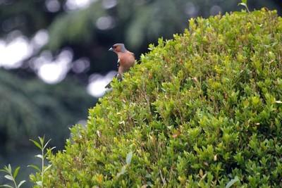 Des oiseaux sont désormais prédateurs de la pyrale du buis (Cydalima perspectalis). Lisez l'article sur le blog pour en savoir plus.