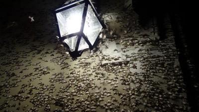 Invasion de pyrale du buis (Cydalima perspectalis): tous les moyens de lutte contre la chenille et le papillon: lisez l'article sur le blog La Plante Qui Pousse.