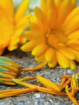 Les soucis (calendula) sont de très belles fleurs oranges comestibles, idéales pour décorer les recettes en tout genre. En savoir plus sur l'article du blog!