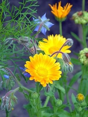 Le calendula ou souci est une belle fleur comestible. Découvrez comment la déguster sur l'article du blog!