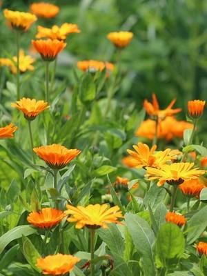 Les soucis (calendula) sont de très belles fleurs oranges comestibles, idéales pour décorer les recettes en tout genre. Lisez l'article du blog pour en savoir plus!
