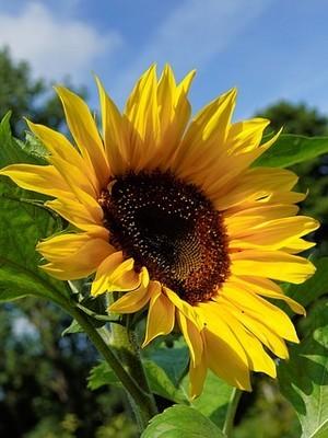 Les pétales de tournesols sont comestibles. De très belles fleurs idéales pour décorer les recettes en tout genre. Lisez l'article du blog pour en savoir plus!