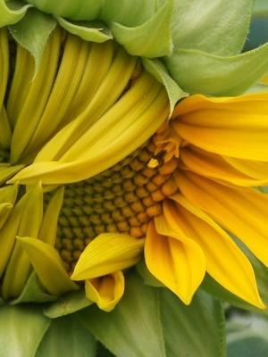 Fleur qui se mange: le tournesol est une fleur comestible. Ses pétales colorés se mangent! En savoir plus: lisez l'article du blog