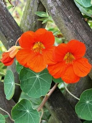 Les fleurs de capucine sont comestibles. Elles sont faciles à faire pousser. Découvrez l'article sur le blog.
