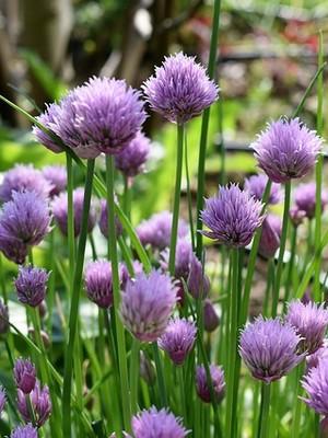Fleurs comestibles: les pétales de ciboulettes se mangent crus. Découvrez-en davantage sur l'article du blog.