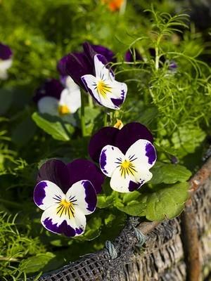 Les fleurs de pensée sont comestibles et sucrées. Elles poussent facilement en pot ou au jardin. Découvrez comment les consommer sur le blog. A bientôt!