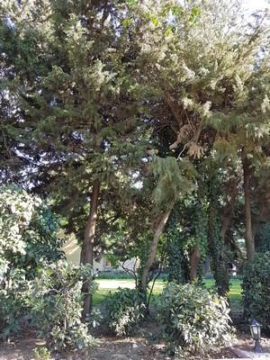 Que planter au pied d'une haie de cyprès ou de thuya pour masquer ses troncs dégarnis? Idées et liste de plantes à planter sous conifères sur le blog!