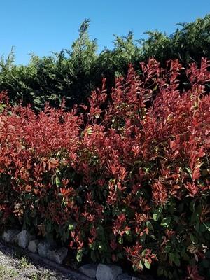 Haie persistante de photinias devant des cyprès. Liste de plantes qui poussent devant les haies sur le blog.