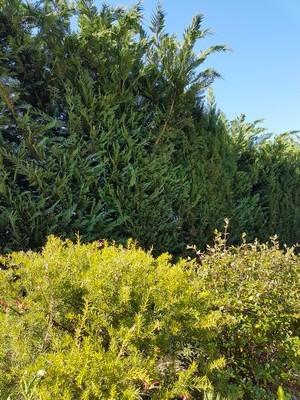 Idées de fleurs et arbustes à planter sous une haie, ici Rosmarinifolia. Découvrez la liste complète sur le blog :)