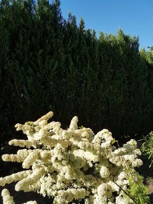 Que planter comme bel arbuste fleuri devant une haie de conifères, thuyas, cyprès? Liste des plantes qui poussent bien devant une haie sur le blog.