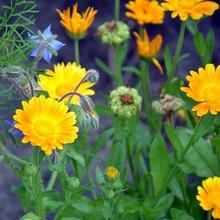 Pétales de fleurs comestibles du jardin, faciles à faire pousser pour des recettes colorées