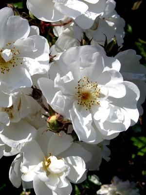 Les pétales de roses sont des fleurs comestibles, découvrez comment les préparer pour profiter de leur saveur. Lisez l'article sur le blog.