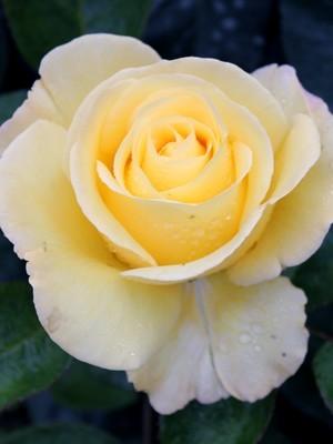 Les pétales de roses sont comestibles, découvrez comment profiter de leur saveur parfumée en cliquant sur l'article du blog.