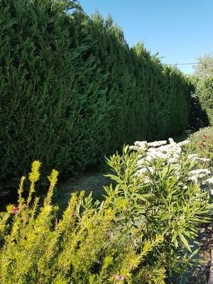 Pensez à laisser un passage pour entretenir la haie quand vous plantez des arbustes fleuris devant. Toutes les astuces sur le blog.