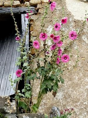 Les pétales des roses trémières sont comestibles. Lisez l'article du blog pour en savoir plus!