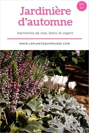 DIY modèles de jardinières d'automne aux couleurs gris, rose et blanc. Avec des callunes, séneçon maritime, cyclamen, carex comans et lierre panaché. Lisez l'article pour en savoir plus.