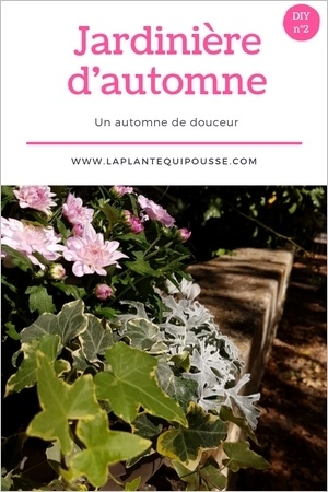 DIY composition d'une jardinière d'automne aux couleurs douces. Chrysanthème, cyclamen, séneçon maritime, lierre et carex comans. Lisez l'article pour en savoir plus!