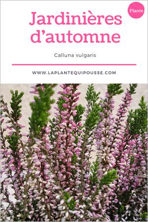 Quelle plante pour une jardinière d'automne? Découvrez la callune ou Calluna vulgaris!