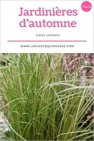 Quelle plante pour une jardinière d'automne? Découvrez le Carex comans ou laîche!