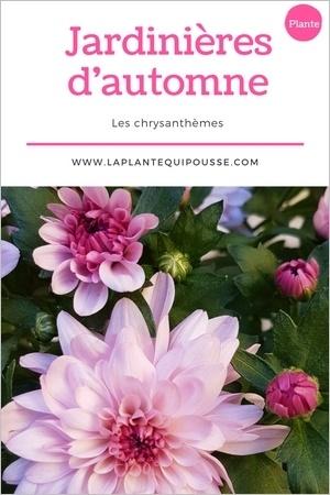 Quelle plante pour une jardinière d'automne? découvrez les chrysanthèmes!
