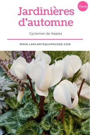 Quelle plante pour une jardinière d'automne? Découvrez le cyclamen de Naples (Cyclamen hederifolium)