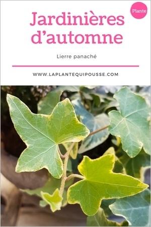 Quelle plante pour une jardinière d'automne? Découvrez le lierre panaché!