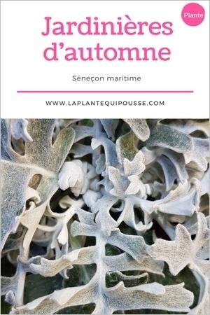 Quelle plante pour une jardinière d'automne? Découvrez le séneçon cinéraire ou cinéraire maritime et son feuillage gris argenté!