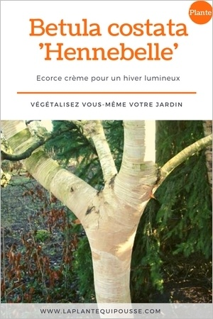 Le bouleau Hennebelle (Betula costata Hennebelle) est un petit arbre à l'écorce remarquable blanche et crème. Idéal pour illuminer le jardin l'hiver. En savoir plus: clic!