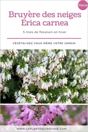 Les bruyères des neiges (Erica carnea) sont en fleurs pendant plusieurs mois l'hiver. Découvrez ce couvre-sol persistant et rustique. Découvrez avec quoi les associer. Lisez l'article