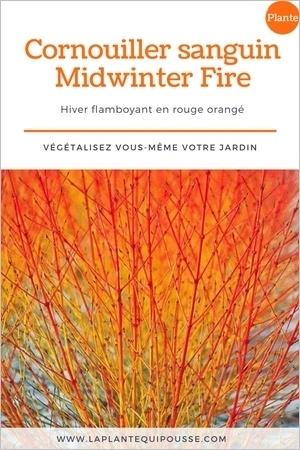 Des rameaux rouge orange qui illuminent le jardin en hiver: le cornouiller sanguin Midwinter Fire (Cornus sanguinea), un bel arbuste pour le jardin. Lisez l'article pour en savoir plus