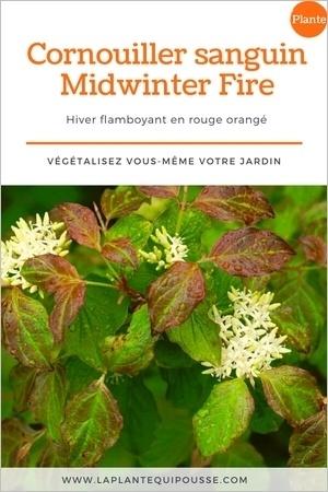 Fleurs blanches en été du Cornouiller sanguin Midwinter Fire. Mais c'est en hiver que cet arbuste flamboie avec son écorce remarquable rouge orangé. Lisez l'article pour en savoir plus.