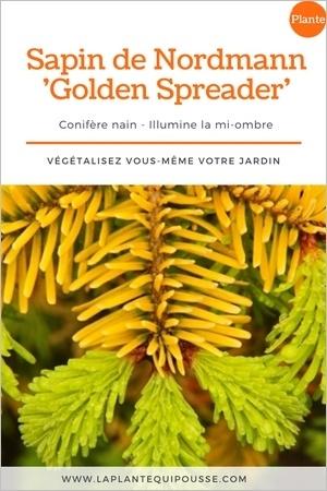 Le sapin de Nordmann nain Golden Spreader a un feuillage jaune dore. Idéal au jardin pour illuminer la mi-ombre et pour un beau jardin l'hiver. Lisez l'article!