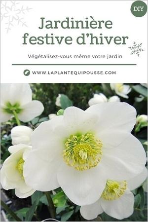 DIY Idée de modèle de jardinière fleurie pour l'hiver et les fêtes, avec hellébore, cyclamen, calocephalum, lierre...