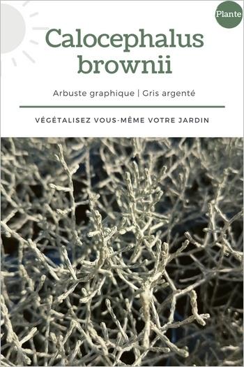 Calocephalus brownii: feuillage gris argent original et moderne pour de belles jardinières et balconnières en climat doux