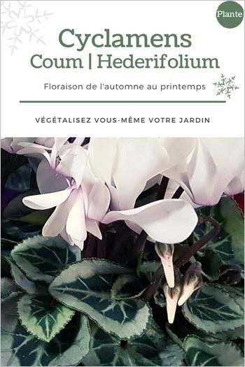 Cyclamens blancs: idée de modèle de jardinière d'hiver fleurie pour les fêtes de fin d'année en couleurs blanc gris et argent