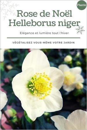 Hellébores blanches (Helleborus niger): une fleur d'hiver idéale pour le jardin et les jardinières fleuries en hiver. Cliquez pour composer vous-même votre jardinière et voir le modèle!