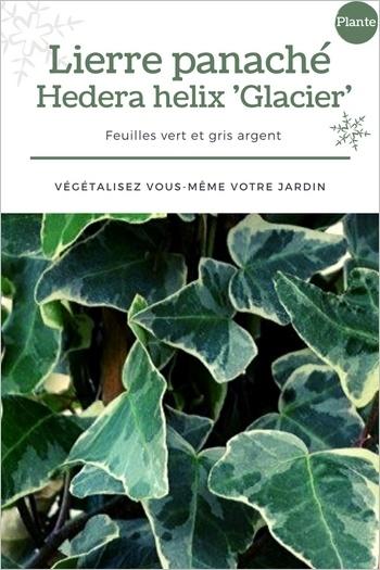 Lierre panaché 'Glacier': un feuillage vert et gris superbe pour accompagner des fleurs dans une jardinière. Cliquez pour voir le DIY!
